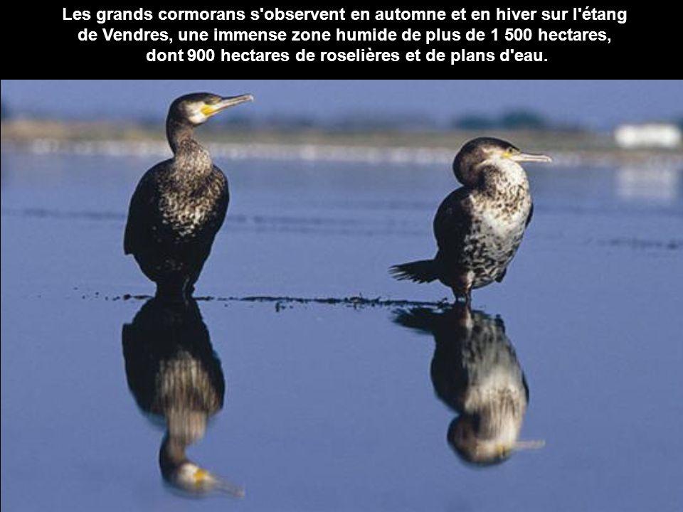 Les grands cormorans s observent en automne et en hiver sur l étang