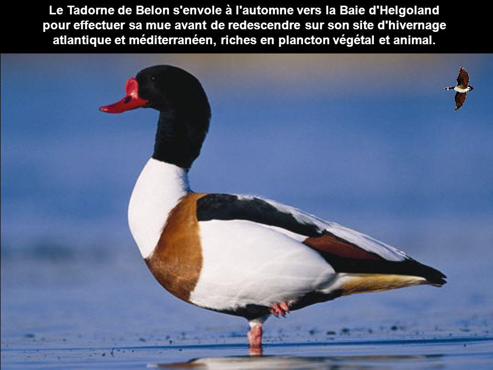 Le Tadorne de Belon s envole à l automne vers la Baie d Helgoland