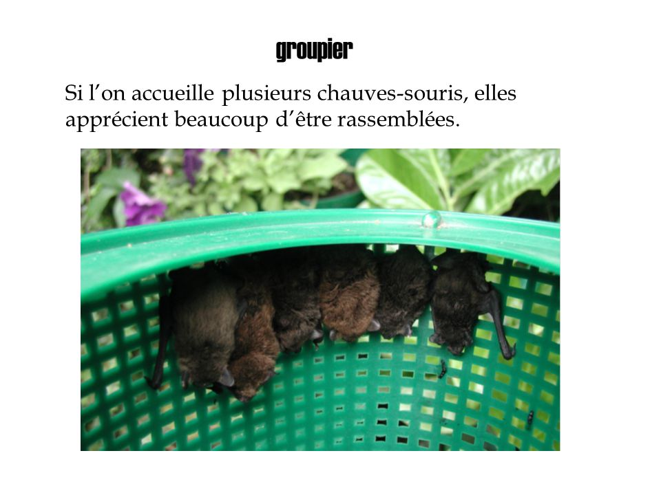 groupier Si l'on accueille plusieurs chauves-souris, elles apprécient beaucoup d'être rassemblées.