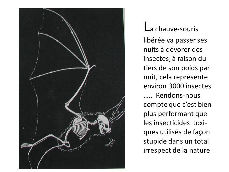 La chauve-souris libérée va passer ses nuits à dévorer des insectes, à raison du tiers de son poids par nuit, cela représente environ 3000 insectes …..