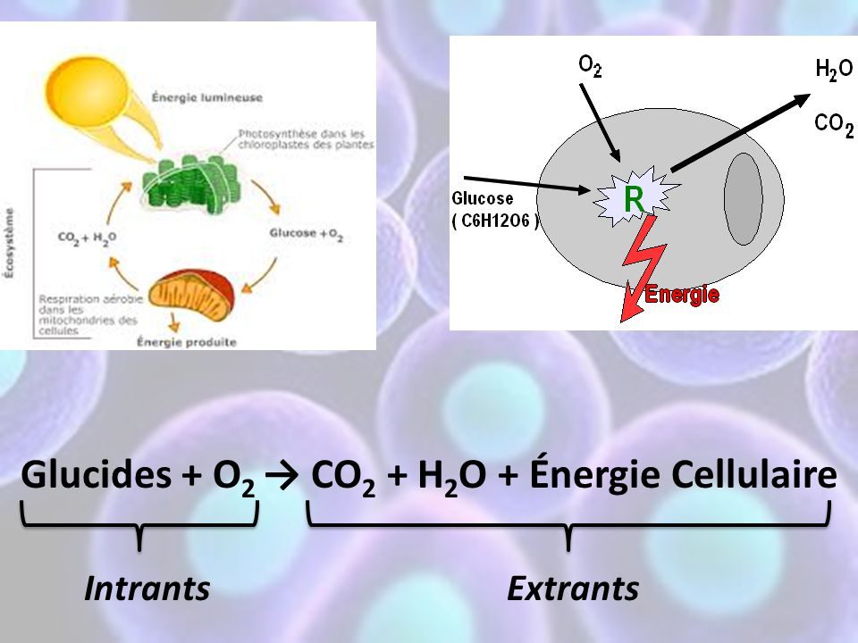 Glucides + O2 → CO2 + H2O + Énergie Cellulaire