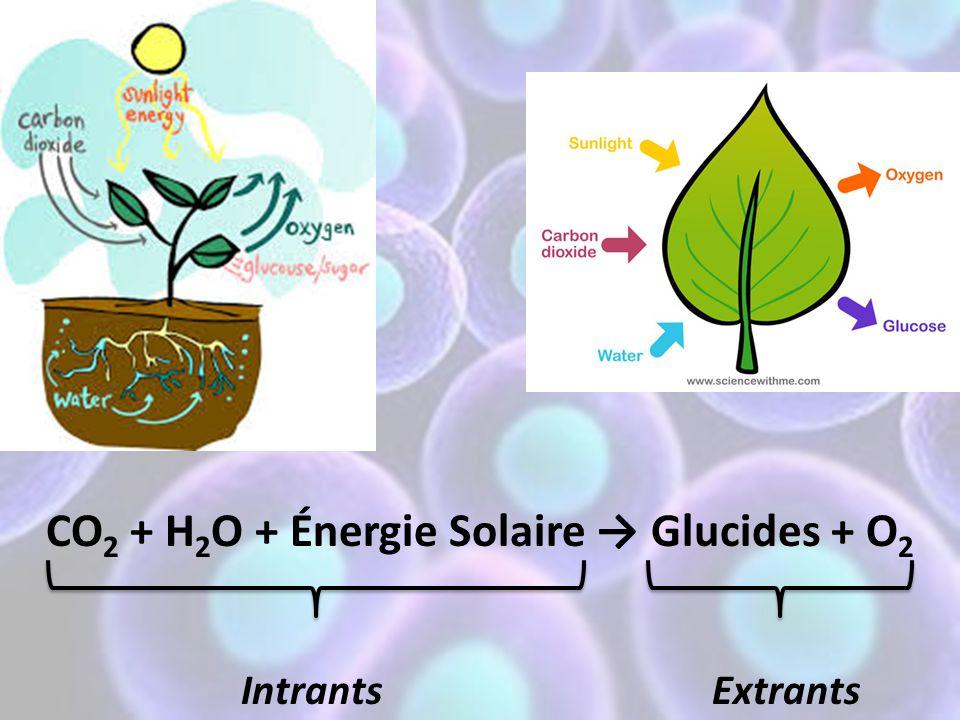 CO2 + H2O + Énergie Solaire → Glucides + O2