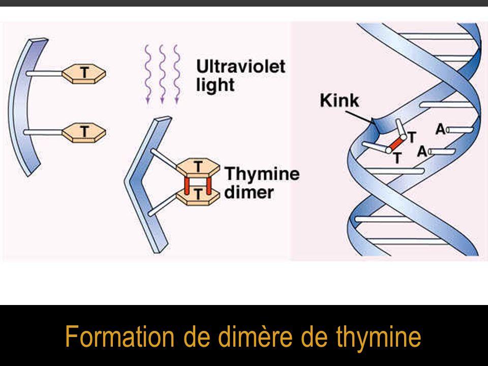 Formation de dimère de thymine