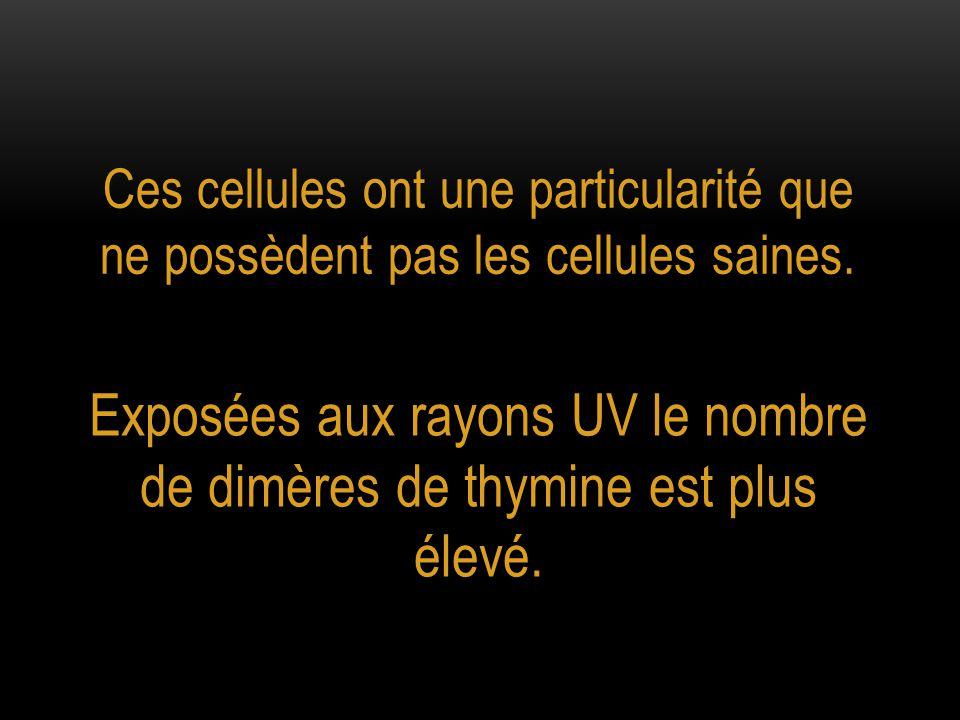 Exposées aux rayons UV le nombre de dimères de thymine est plus élevé.