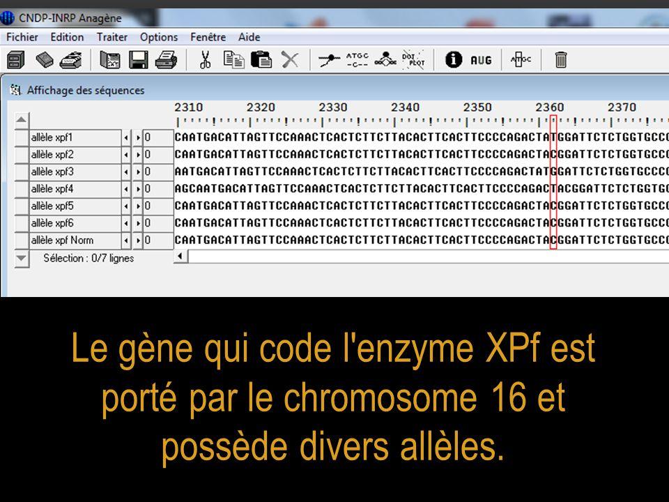 Le gène qui code l enzyme XPf est porté par le chromosome 16 et possède divers allèles.