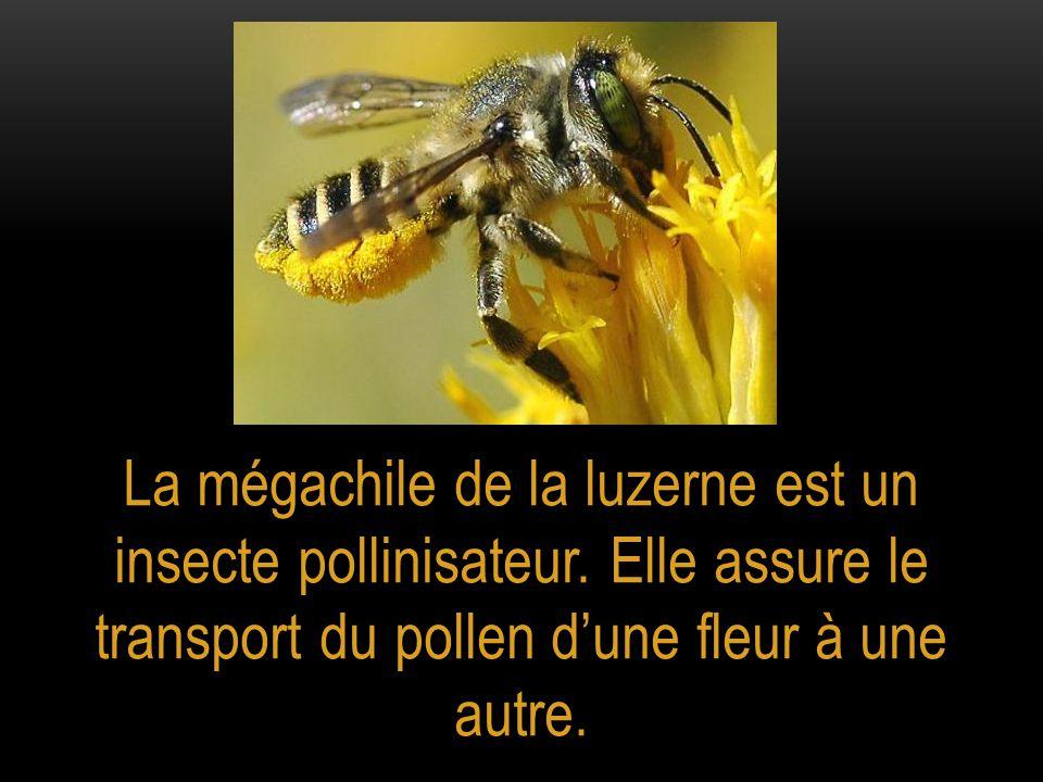 La mégachile de la luzerne est un insecte pollinisateur