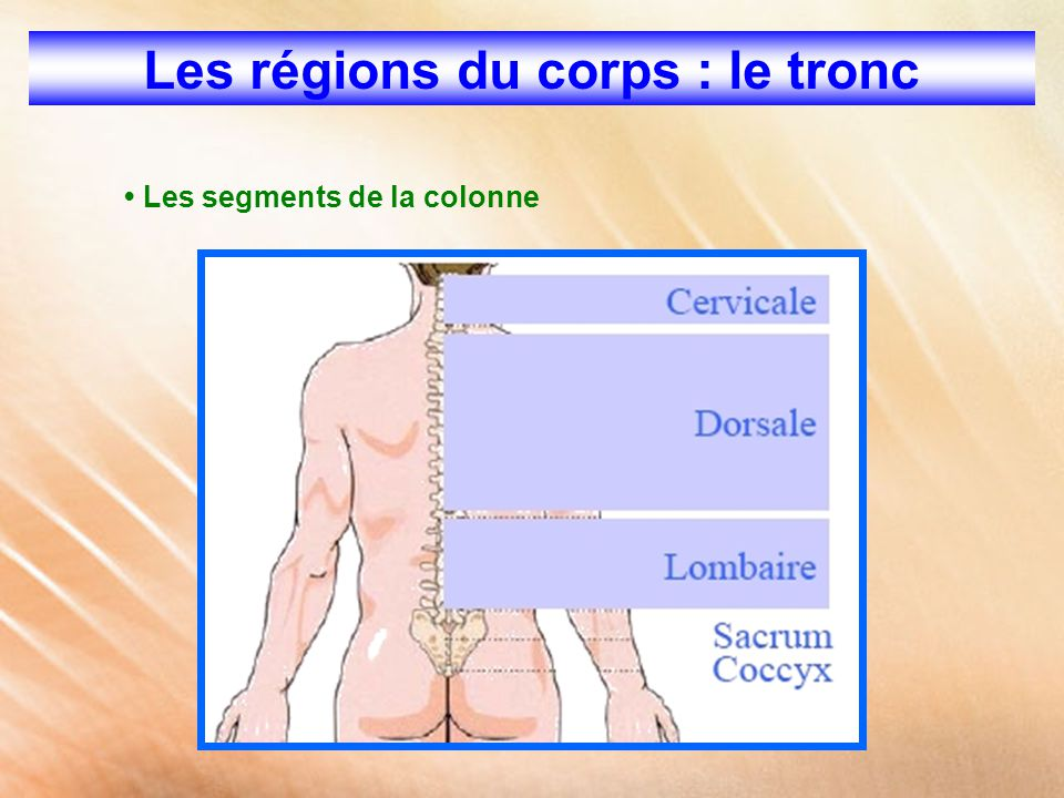 Les régions du corps : le tronc