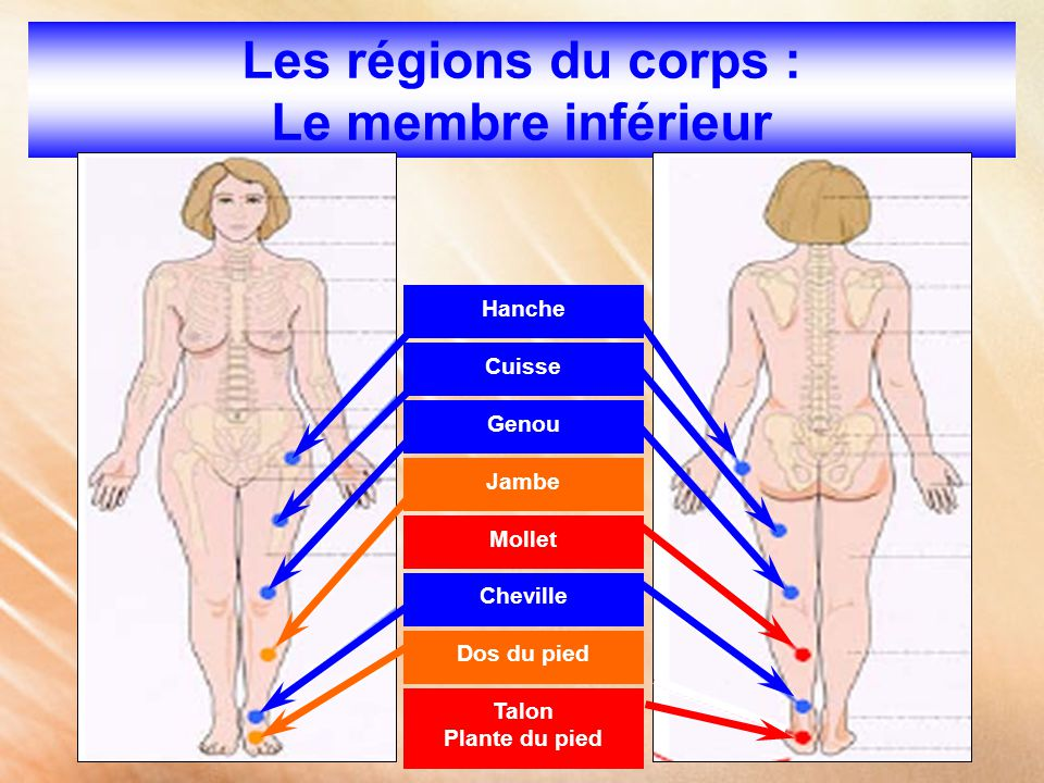 Les régions du corps : Le membre inférieur
