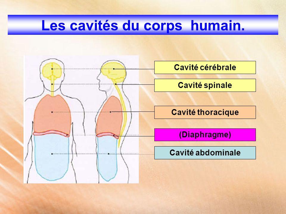 Les cavités du corps humain.