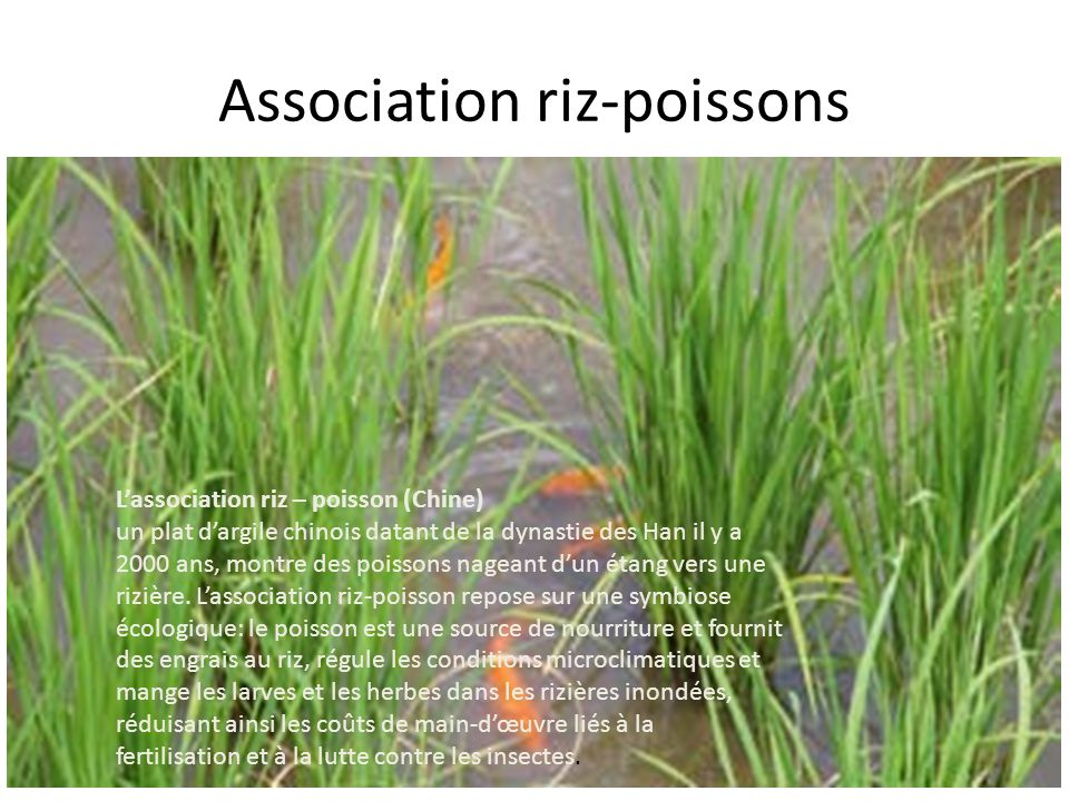 Association riz-poissons