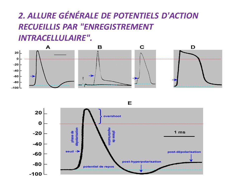 2. Allure générale de potentiels d action recueillis par enregistrement intracellulaire .