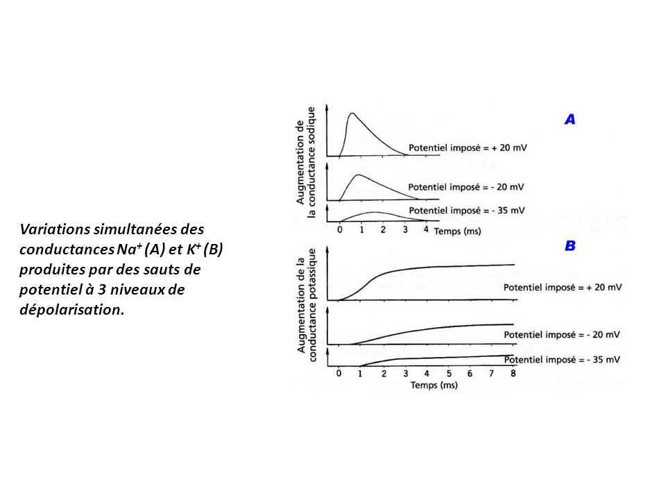 Variations simultanées des conductances Na+ (A) et K+ (B) produites par des sauts de potentiel à 3 niveaux de dépolarisation.