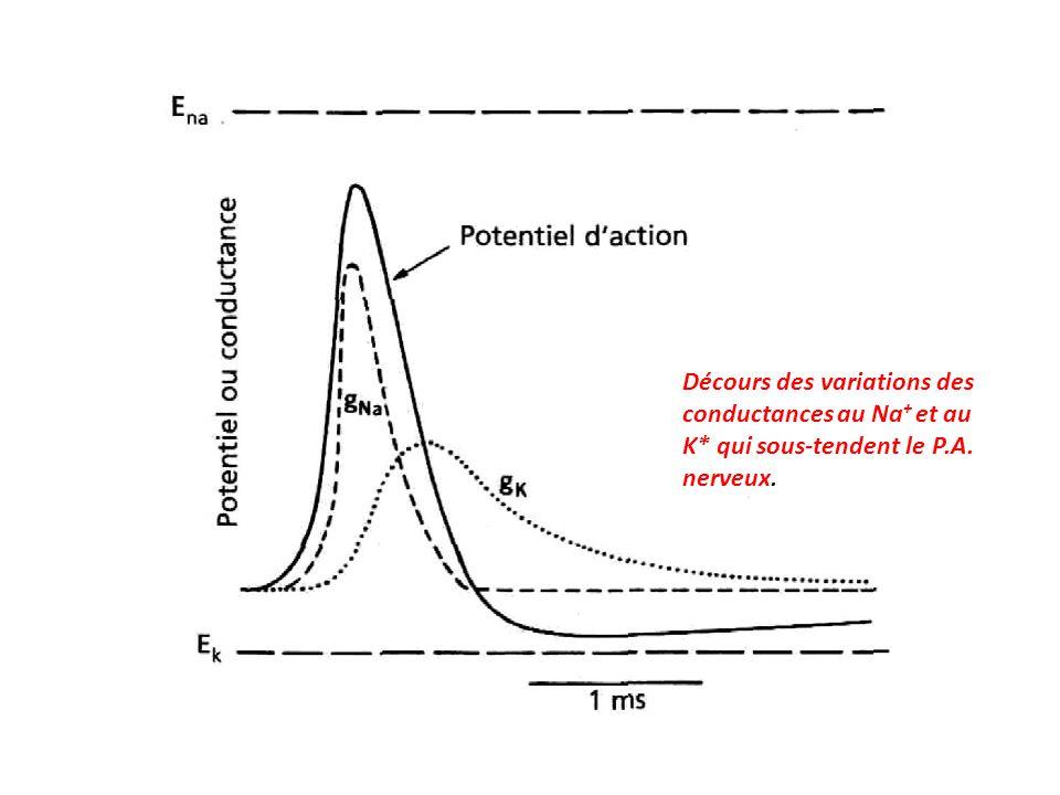 Décours des variations des conductances au Na+ et au K