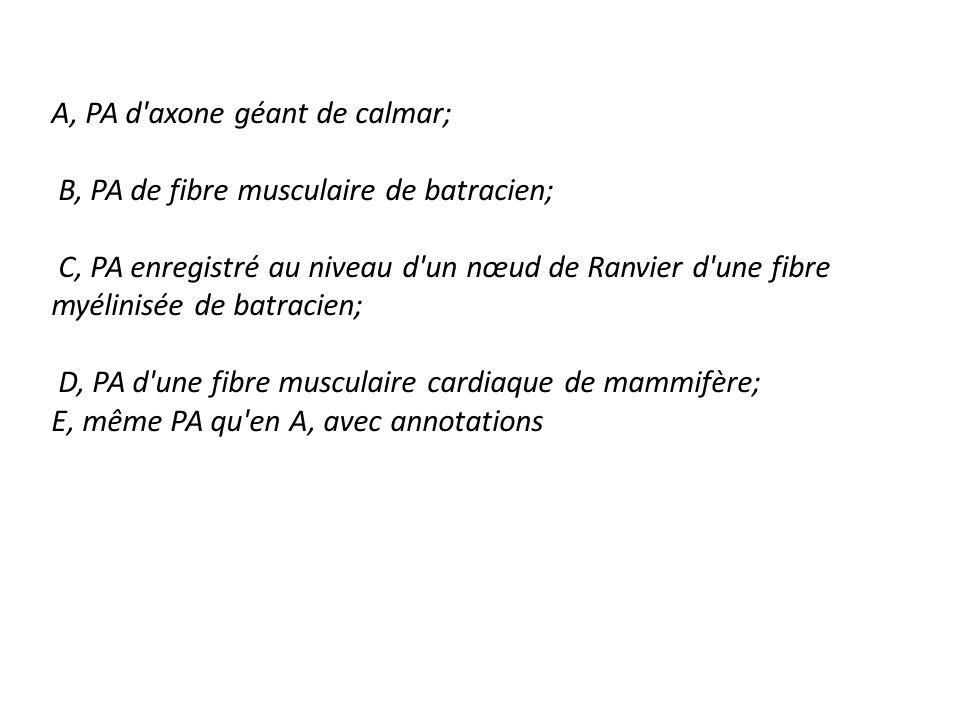 A, PA d axone géant de calmar;