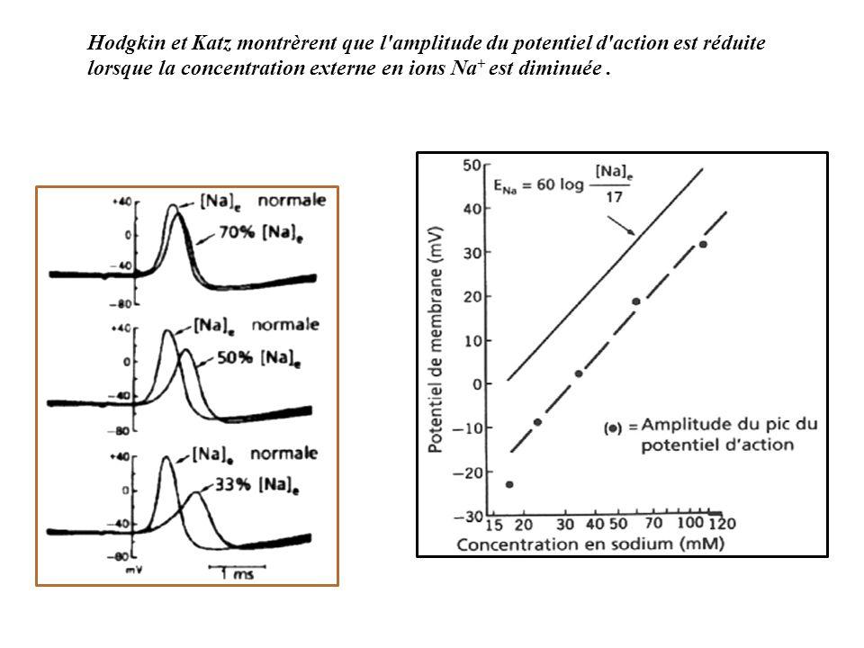 Hodgkin et Katz montrèrent que l amplitude du potentiel d action est réduite lorsque la concentration externe en ions Na+ est diminuée .
