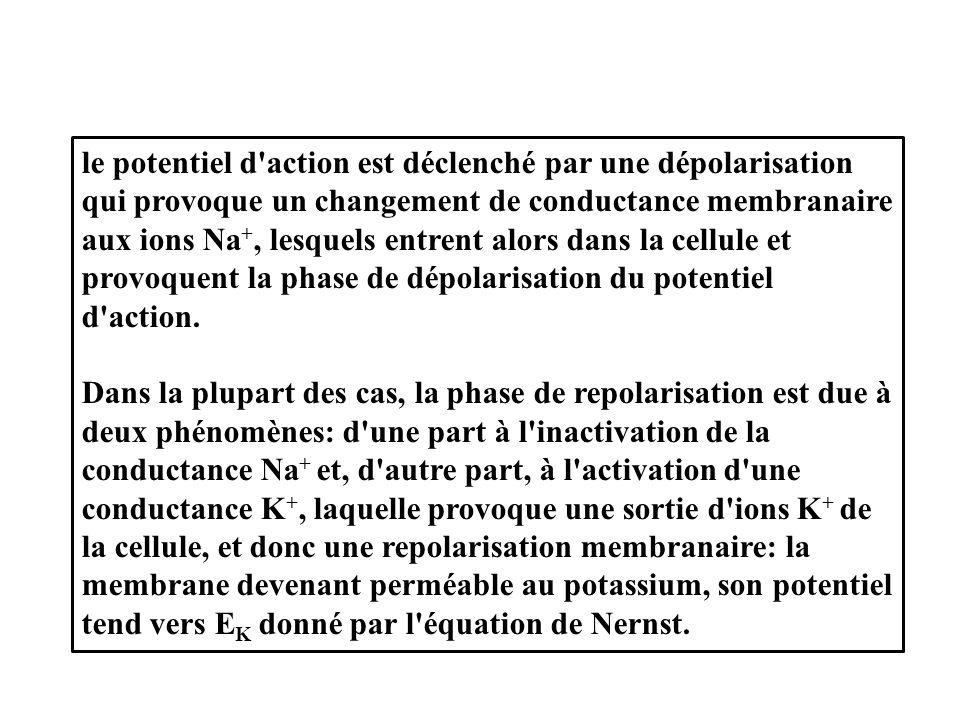 le potentiel d action est déclenché par une dépolarisation qui provoque un changement de conductance membranaire aux ions Na+, lesquels entrent alors dans la cellule et provoquent la phase de dépolarisation du potentiel d action.