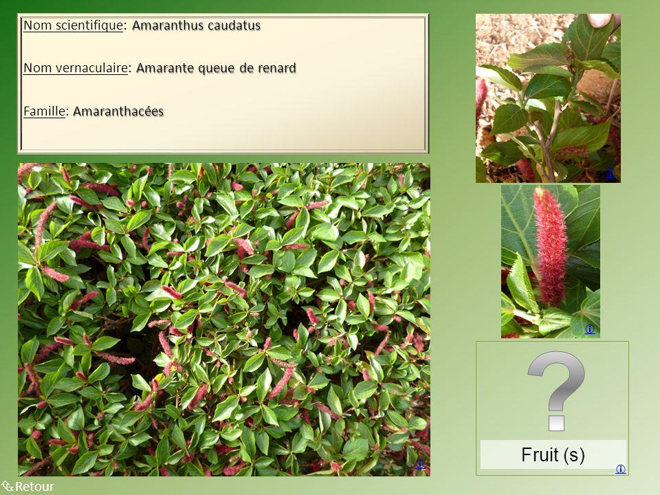 Fruit (s) Nom scientifique: Amaranthus caudatus