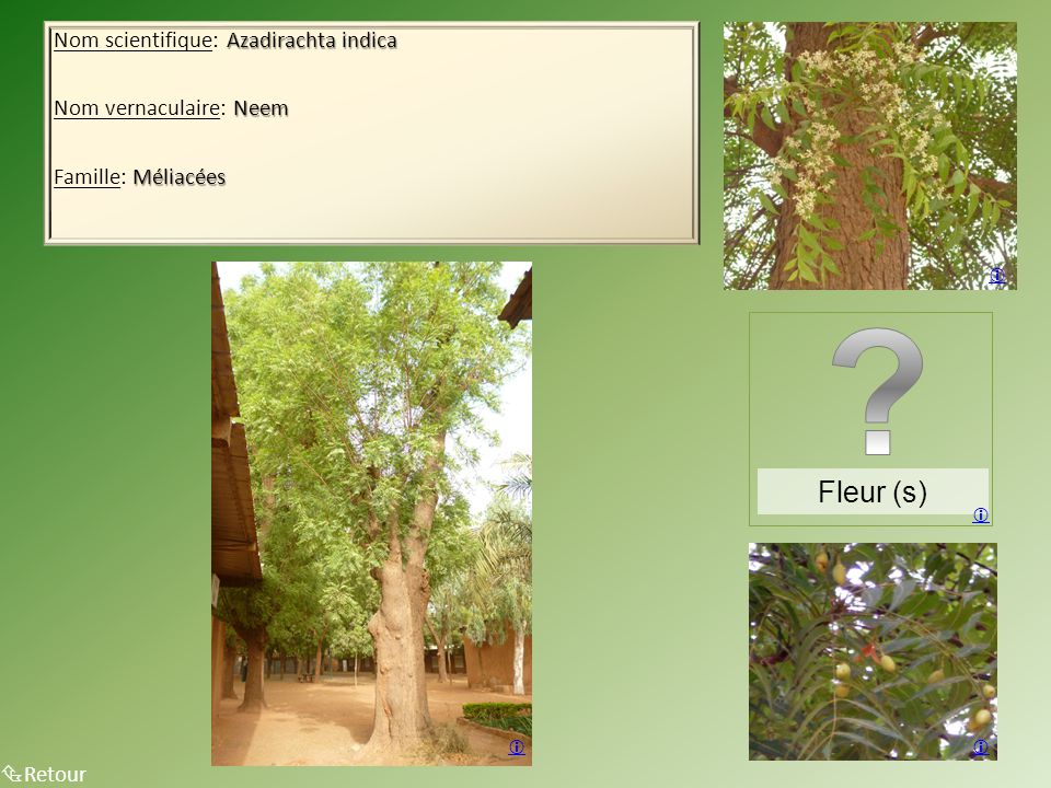 Fleur (s) Nom scientifique: Azadirachta indica