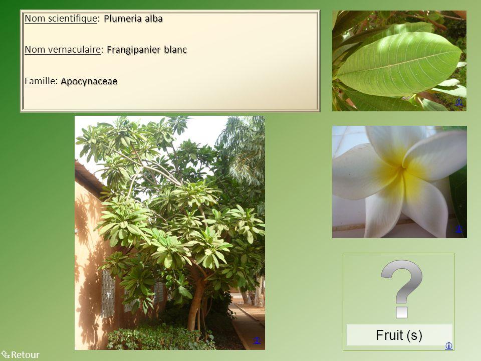 Fruit (s) Nom scientifique: Plumeria alba