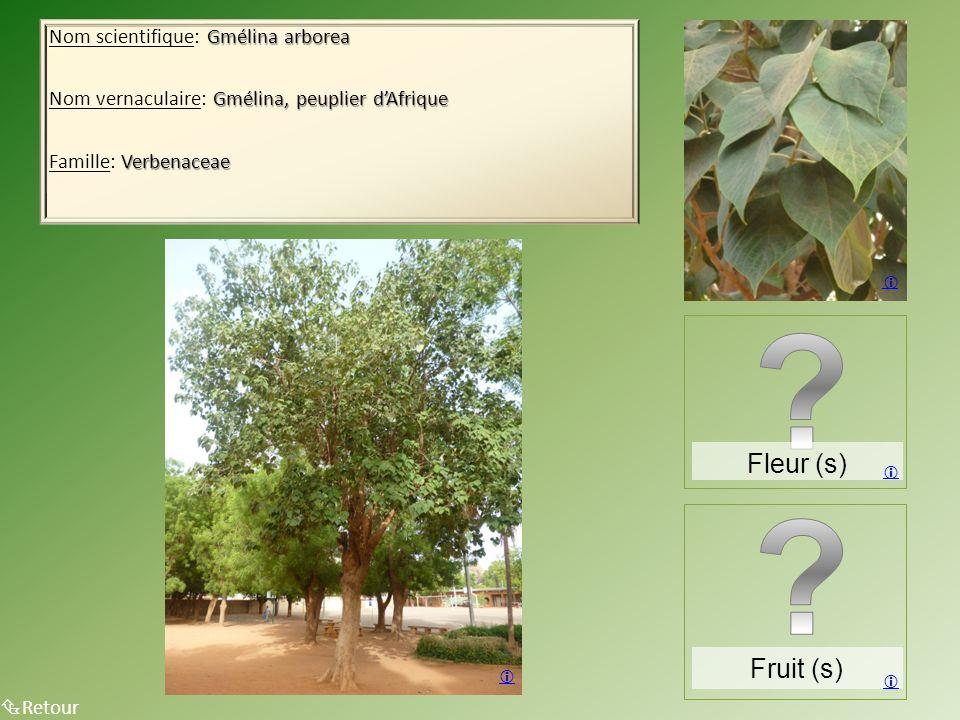 Fleur (s) Fruit (s) Nom scientifique: Gmélina arborea