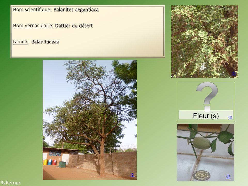 Fleur (s) Nom scientifique: Balanites aegyptiaca
