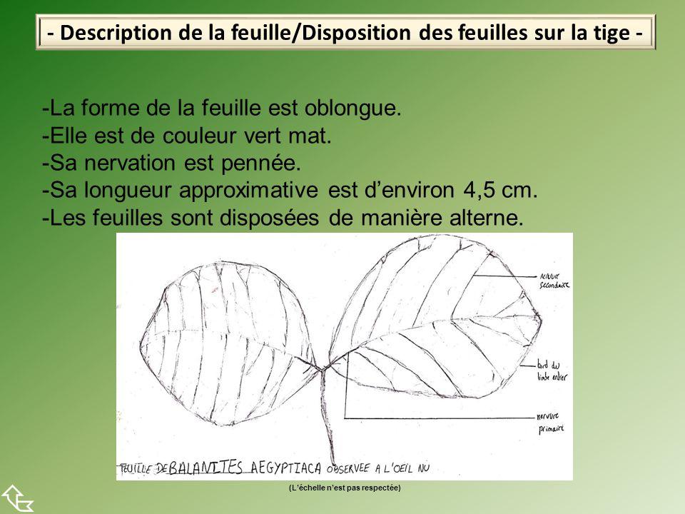  - Description de la feuille/Disposition des feuilles sur la tige -