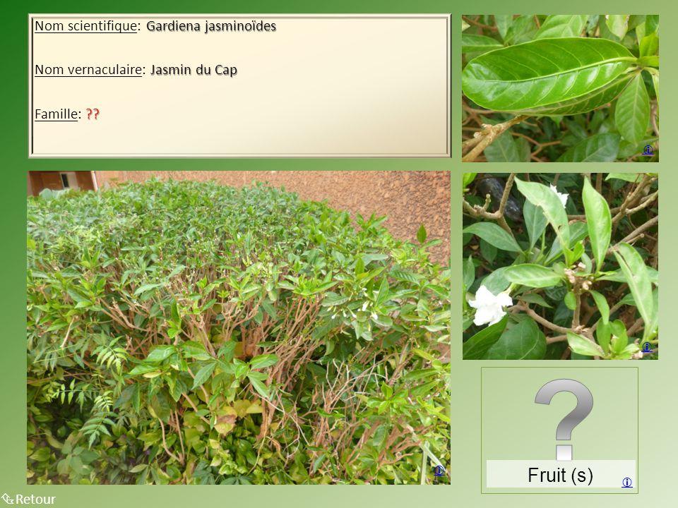 Fruit (s) Nom scientifique: Gardiena jasminoïdes