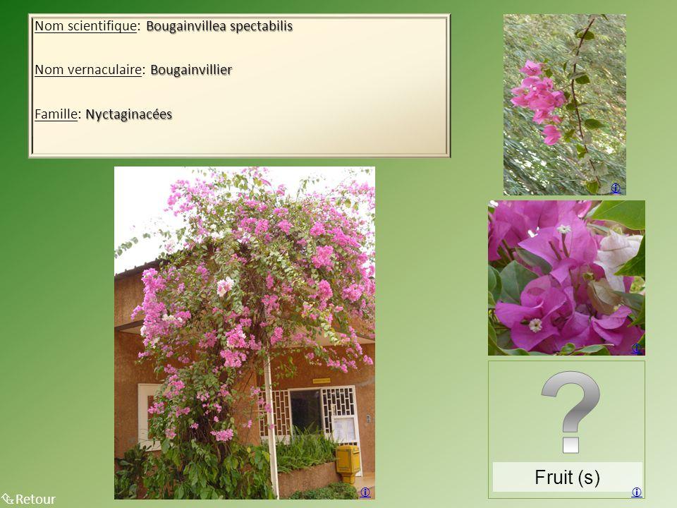 Fruit (s) Nom scientifique: Bougainvillea spectabilis