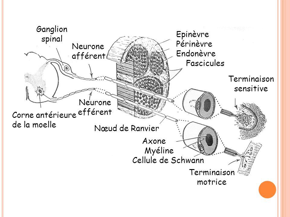Ganglion spinal Epinèvre. Périnèvre. Endonèvre. Fascicules. Neurone. afférent. Terminaison. sensitive.