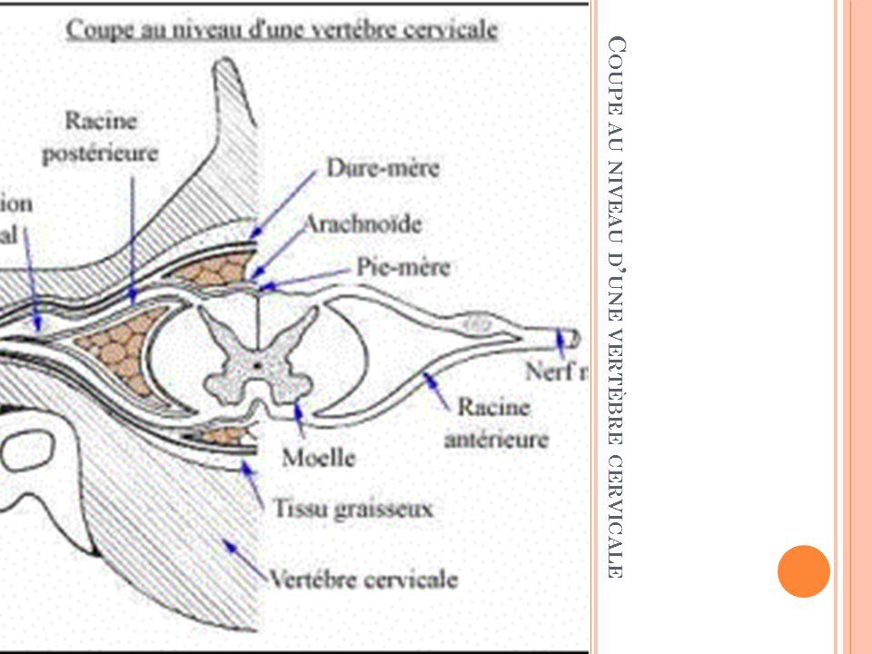 Coupe au niveau d'une vertèbre cervicale