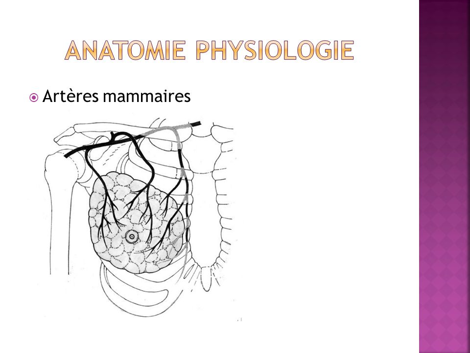 anatomie physiologie Artères mammaires