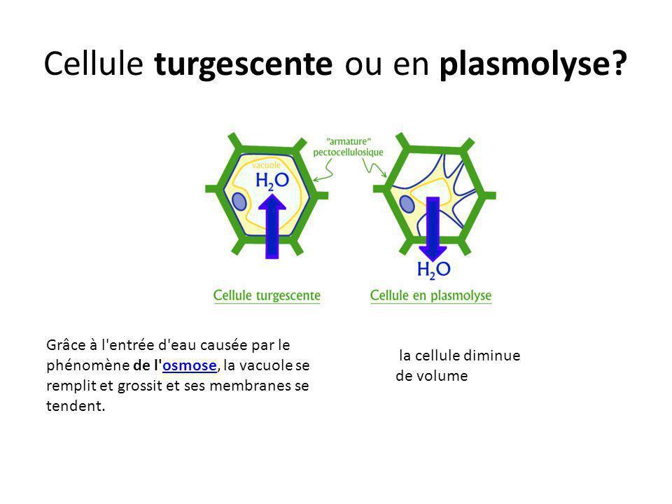 Cellule turgescente ou en plasmolyse