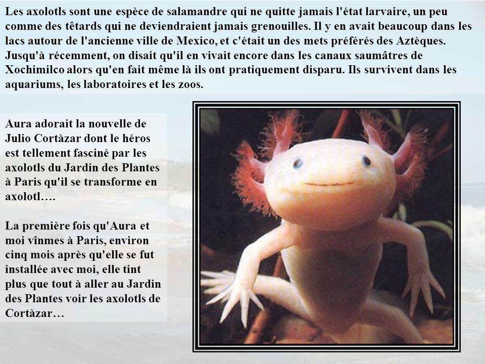 Les axolotls sont une espèce de salamandre qui ne quitte jamais l état larvaire, un peu comme des têtards qui ne deviendraient jamais grenouilles. Il y en avait beaucoup dans les lacs autour de l ancienne ville de Mexico, et c était un des mets préférés des Aztèques. Jusqu à récemment, on disait qu il en vivait encore dans les canaux saumâtres de Xochimilco alors qu en fait même là ils ont pratiquement disparu. Ils survivent dans les aquariums, les laboratoires et les zoos.