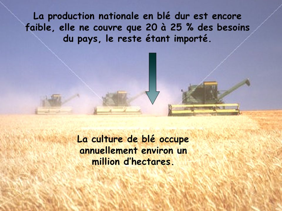La production nationale en blé dur est encore