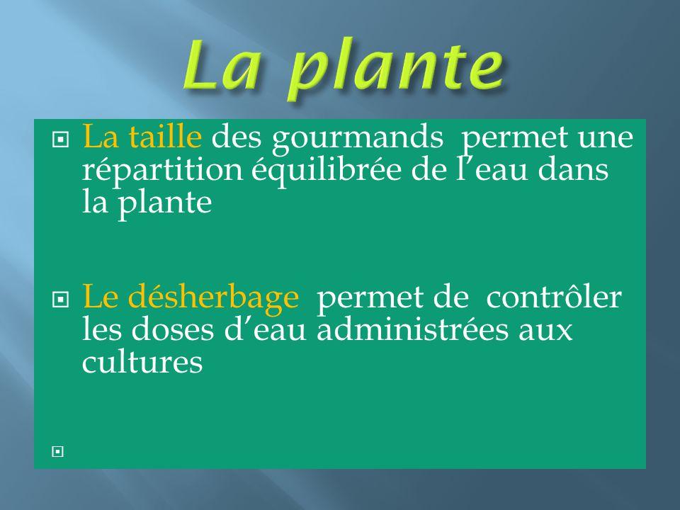 La plante La taille des gourmands permet une répartition équilibrée de l'eau dans la plante.