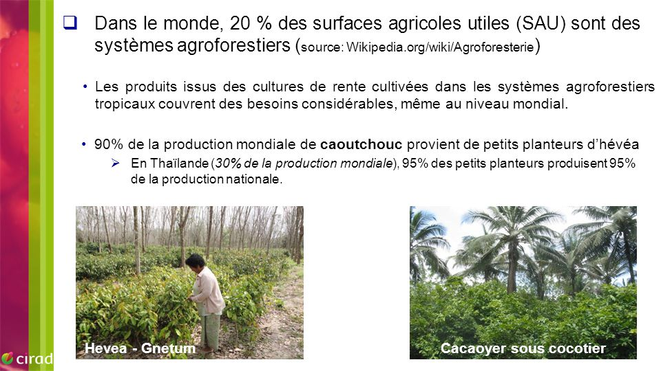 Cacaoyer sous cocotier