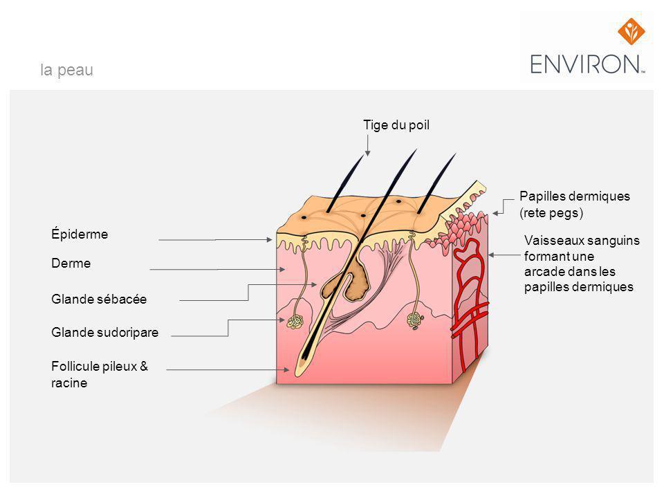 la peau Tige du poil Papilles dermiques (rete pegs) Épiderme