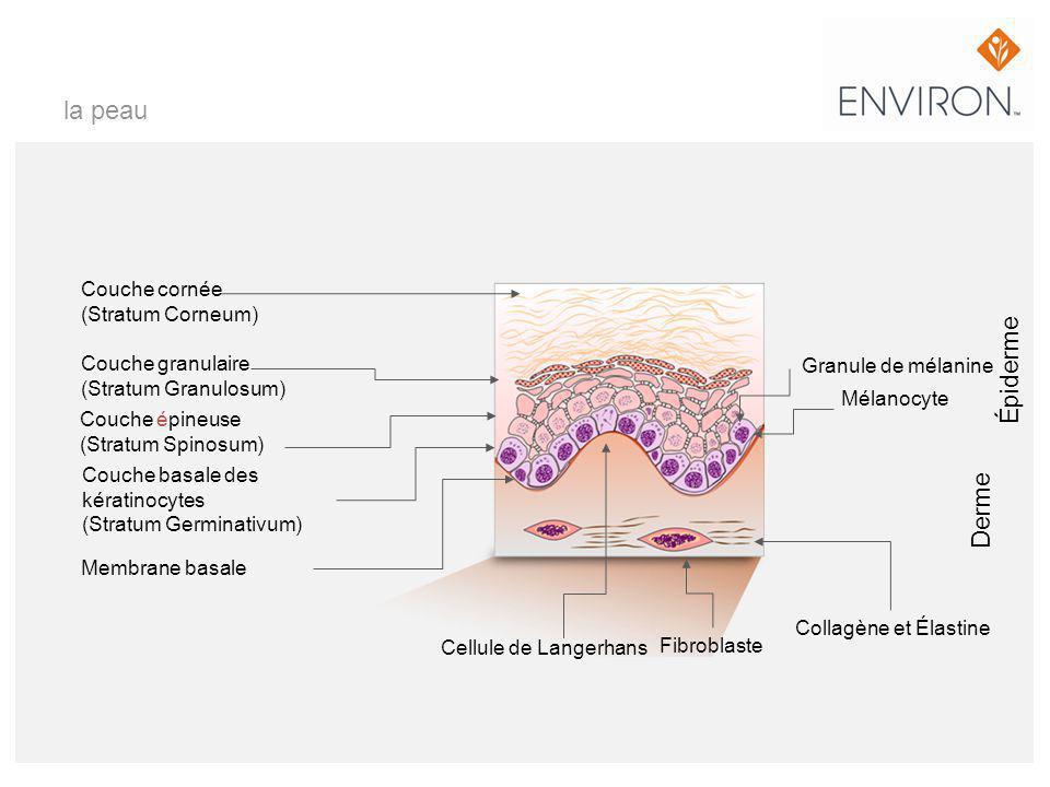 la peau Épiderme Derme Couche cornée (Stratum Corneum)
