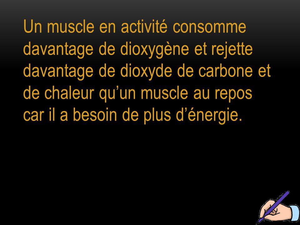 Un muscle en activité consomme davantage de dioxygène et rejette davantage de dioxyde de carbone et de chaleur qu'un muscle au repos car il a besoin de plus d'énergie.