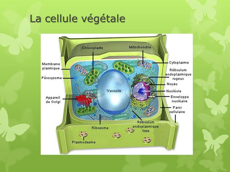 La cellule végétale