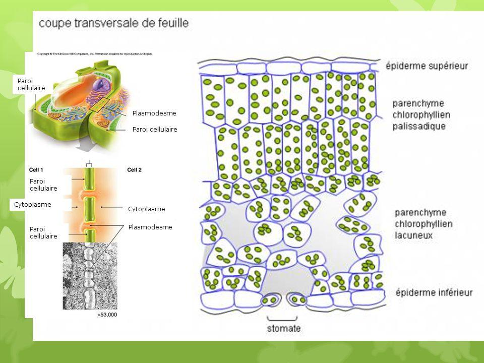 Paroi cellulaire Plasmodesme. Paroi cellulaire. Paroi cellulaire. Cytoplasme. Cytoplasme. Paroi cellulaire.