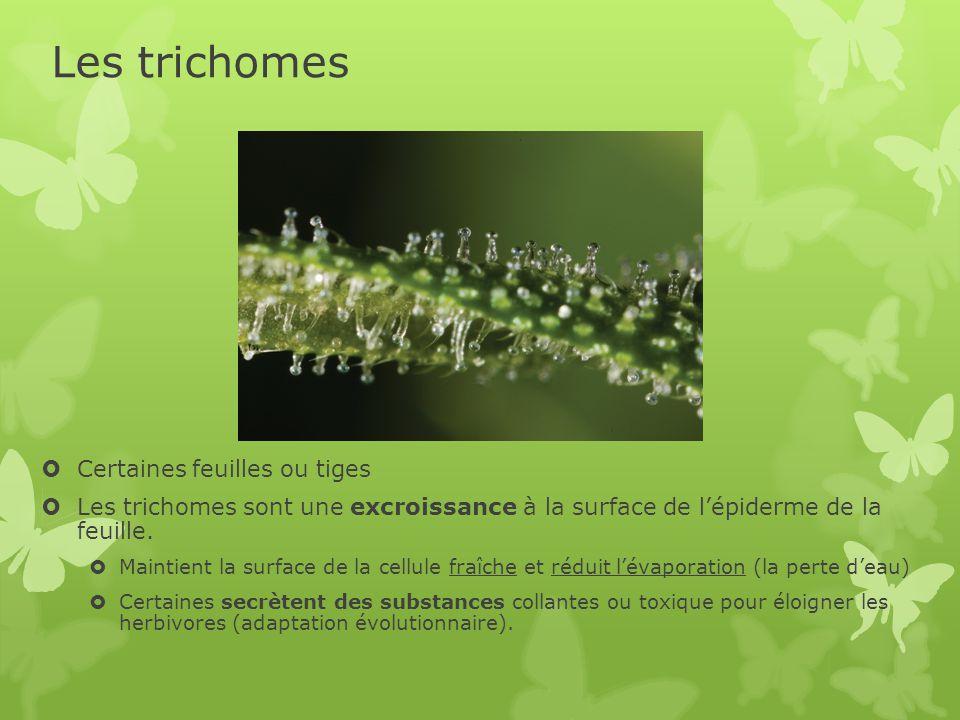 Les trichomes Certaines feuilles ou tiges