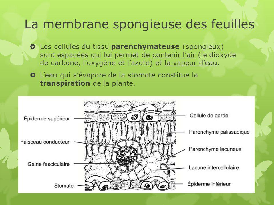 La membrane spongieuse des feuilles