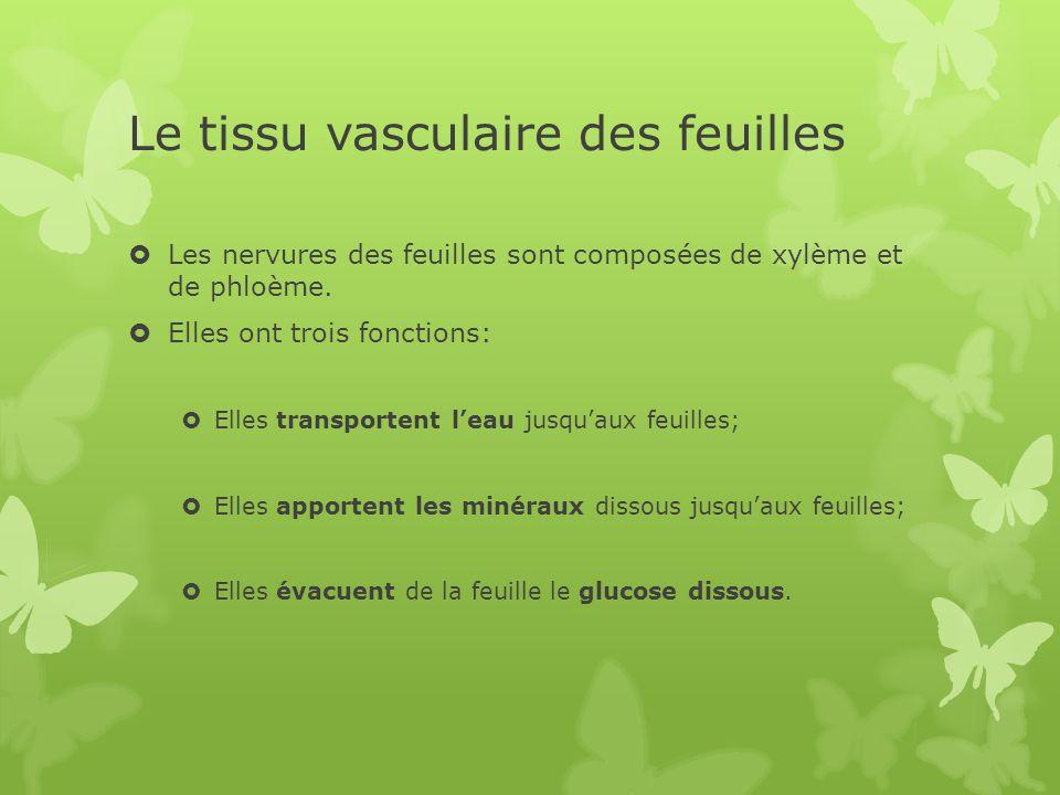 Le tissu vasculaire des feuilles