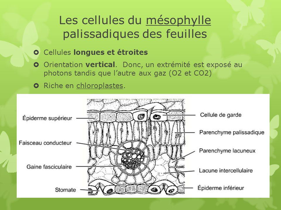Les cellules du mésophylle palissadiques des feuilles
