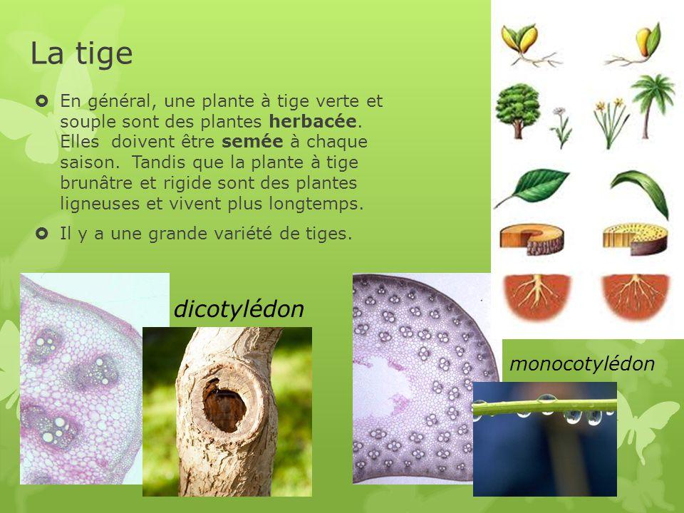 La tige dicotylédon monocotylédon D M