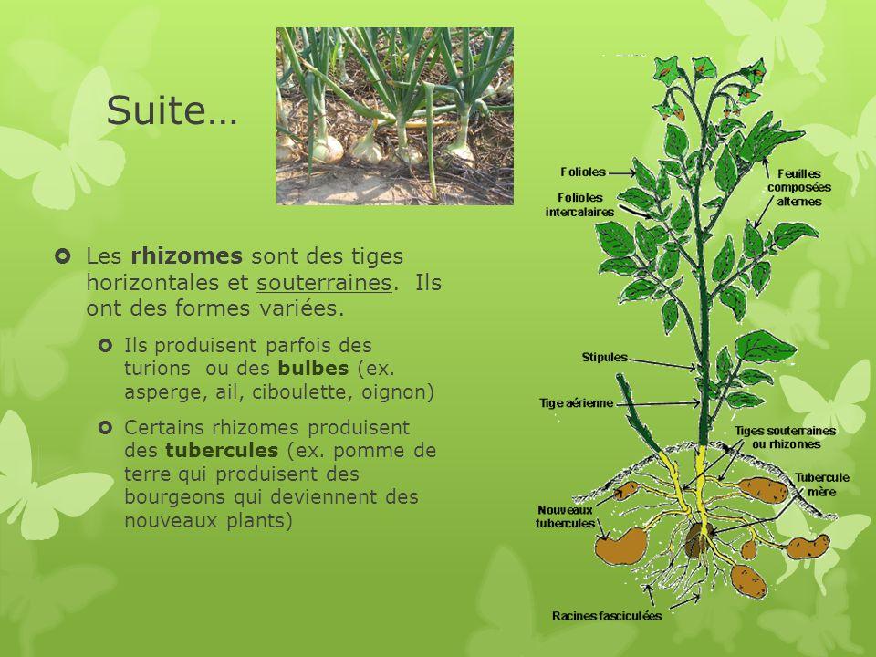 Suite… Les rhizomes sont des tiges horizontales et souterraines. Ils ont des formes variées.