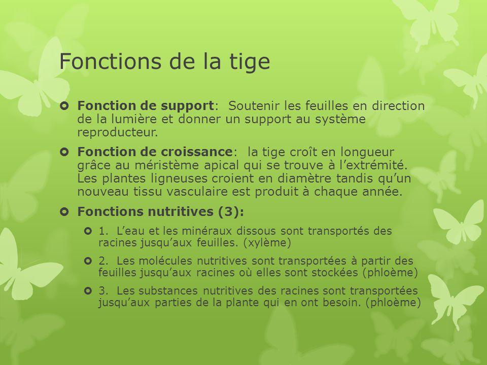 Fonctions de la tige Fonction de support: Soutenir les feuilles en direction de la lumière et donner un support au système reproducteur.