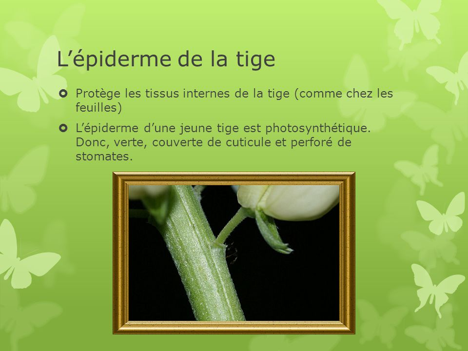 Protège les tissus internes de la tige (comme chez les feuilles)