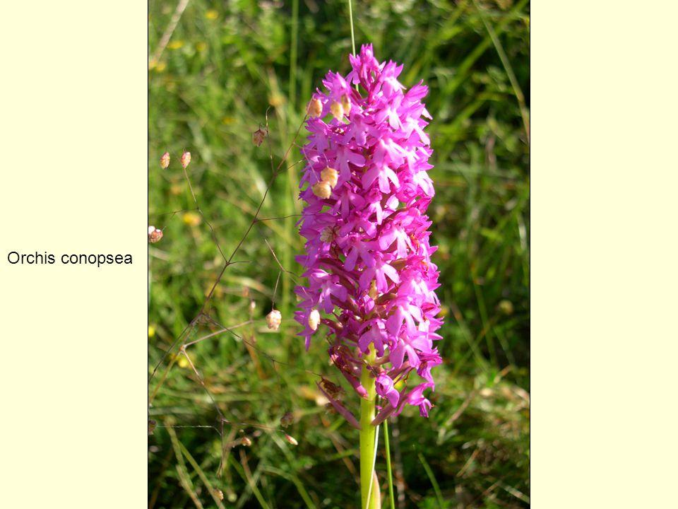 Orchis conopsea
